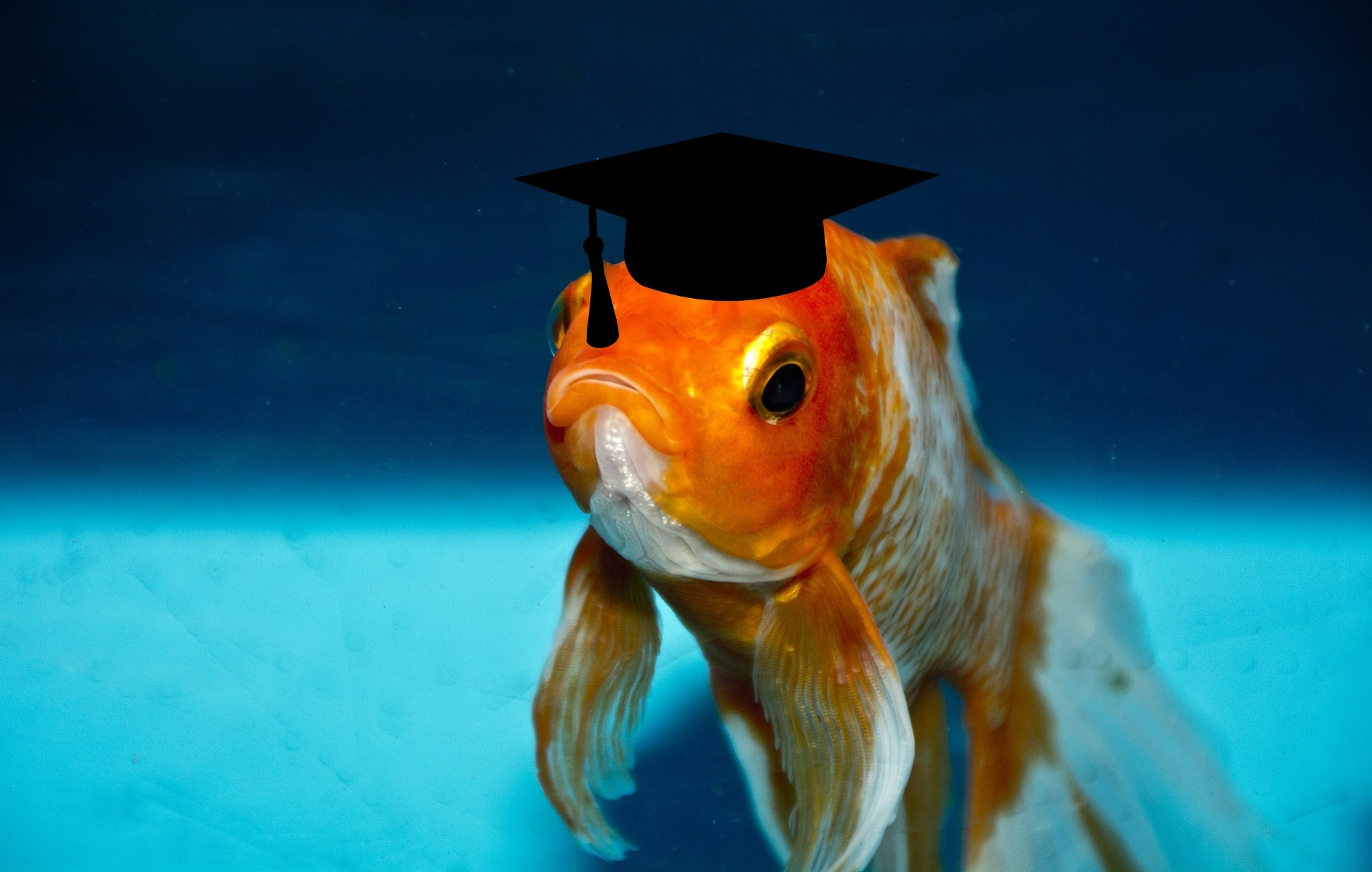myth busting Monday - goldfish wearing a mortar board